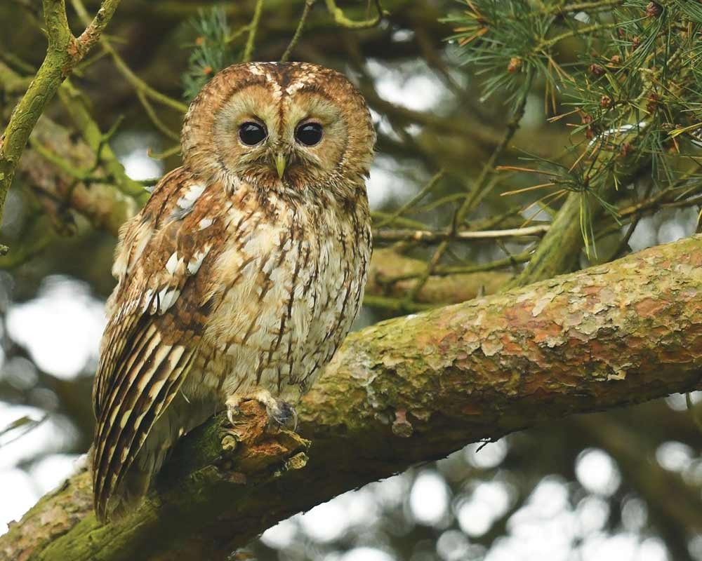 Image of a Tawny Owl at Foxley Woods by Nick Appleton