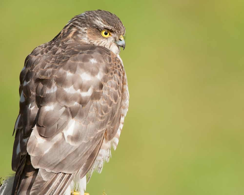 Image of a sparrowhawk at Foxley Woods by Mark Hamblin