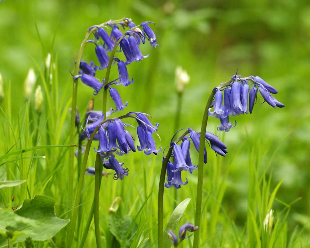 A photograph of bluebells at Foxley Wood by Jessica Riederer