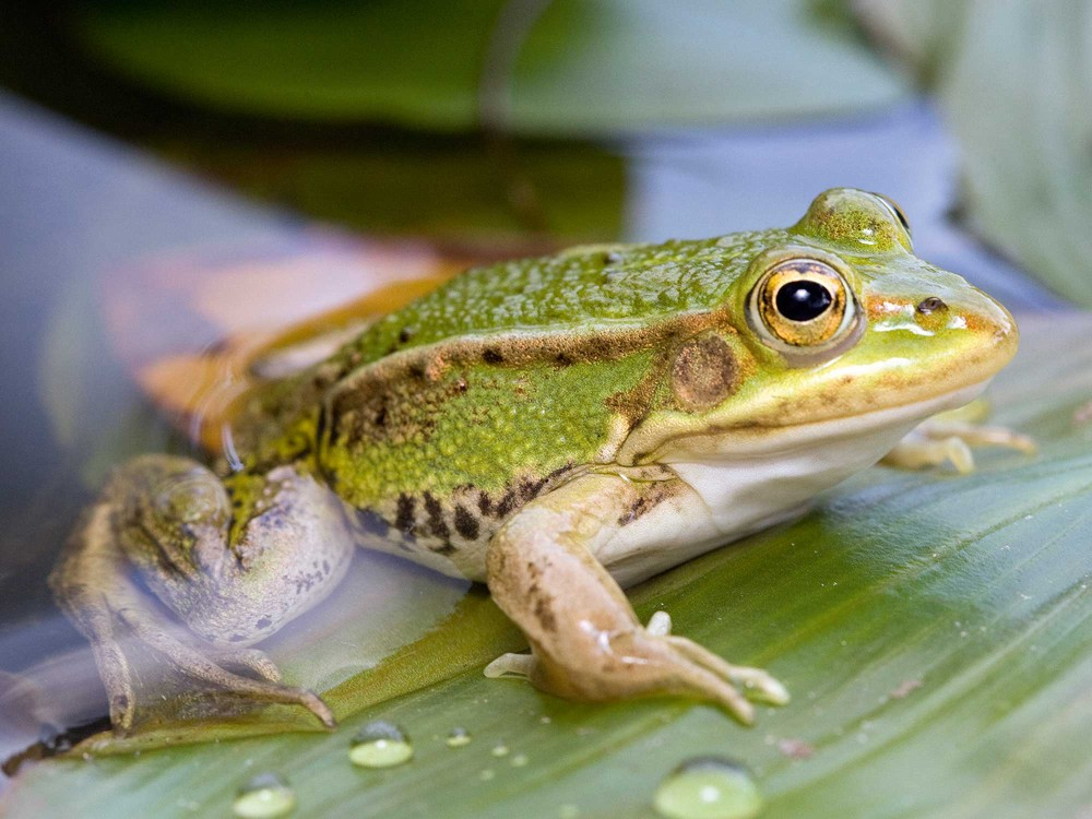 Iamge of the pond frog which has been identified as a native species thanks to its distinctive local accent