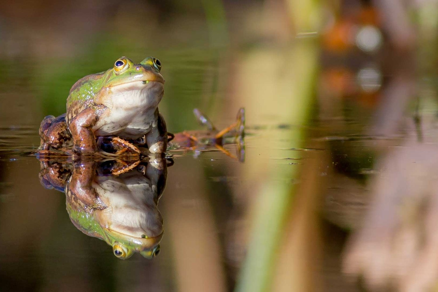 Image of the pond frog Rana Lessonae, which has finally come home to Norfolk