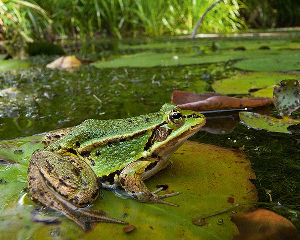 Norfolk's pond frog is actually one of England's rarest native amphibians