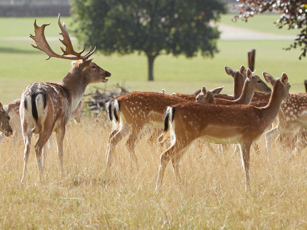 An image of the Holkham estate's herd of fallow deer