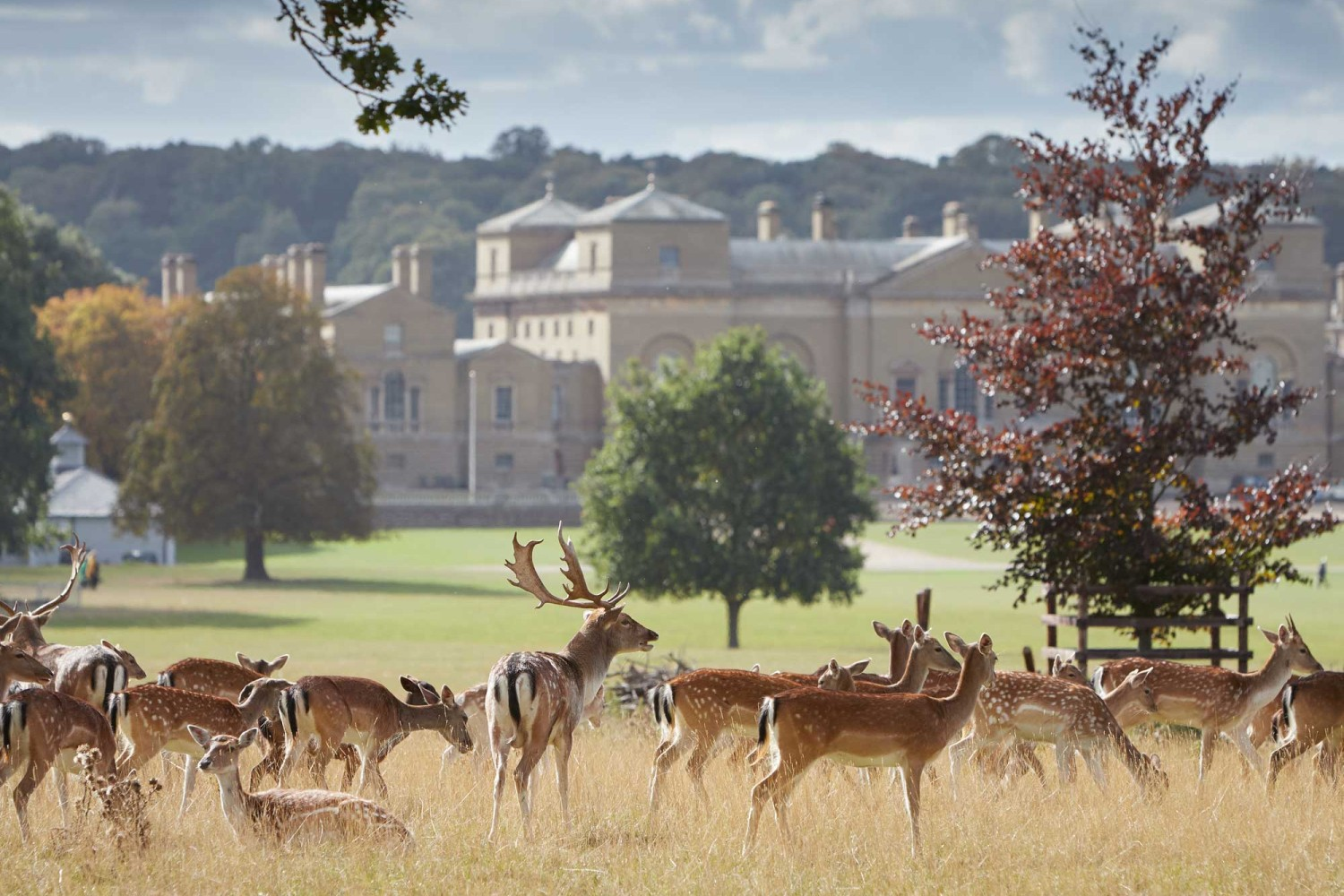 The Holkham estate's fallow deer in front of the magnificent hall itself
