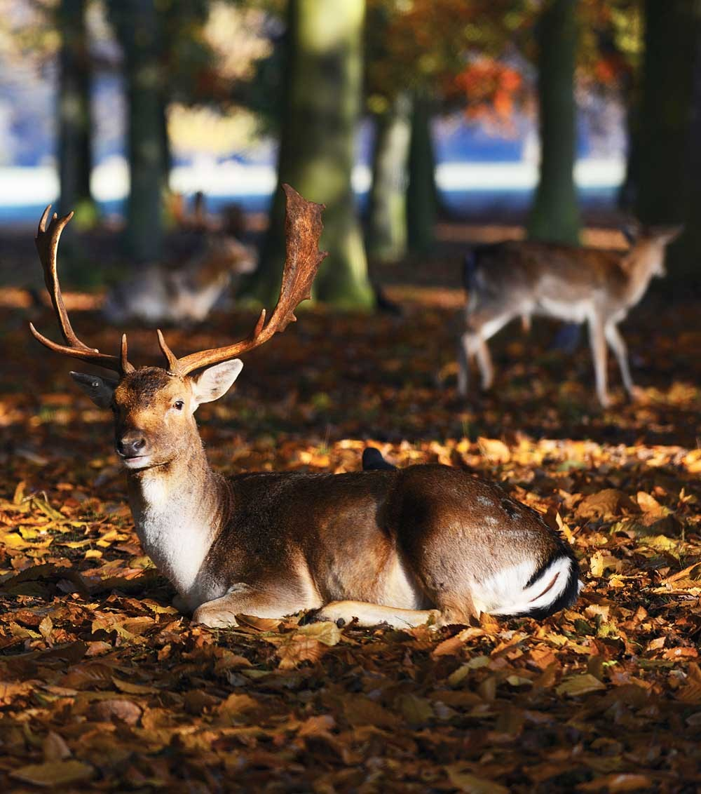 Holkham's deer are beautiful animals but please keep your distance