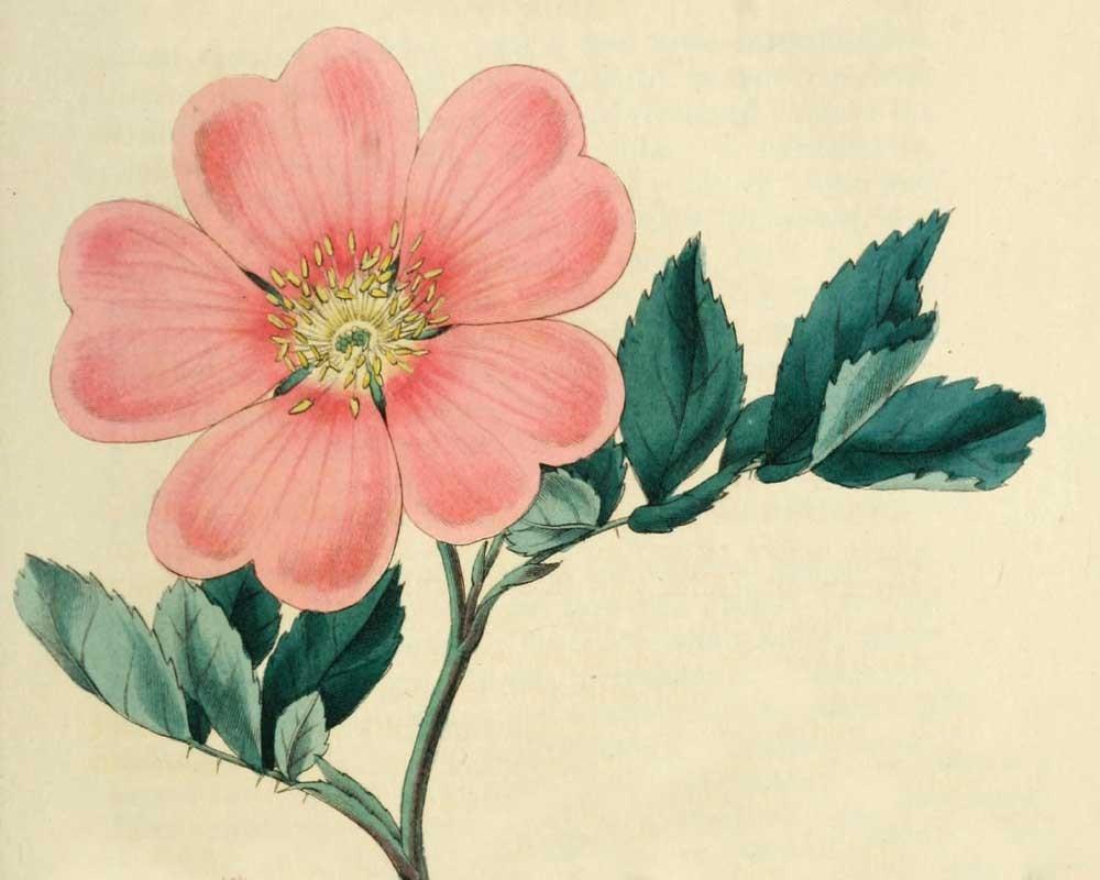 Rosarum monographia, John Lindley