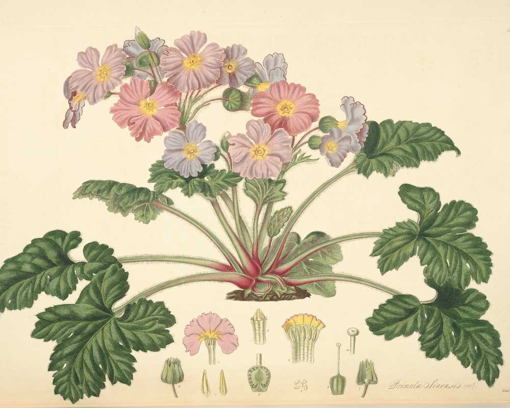 Primula sinensis, John Lindley - Collectanea botanica (1821)