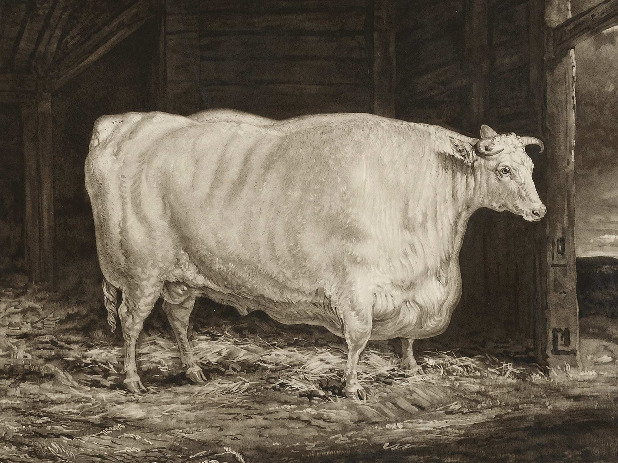 Painting of the Durham White ox