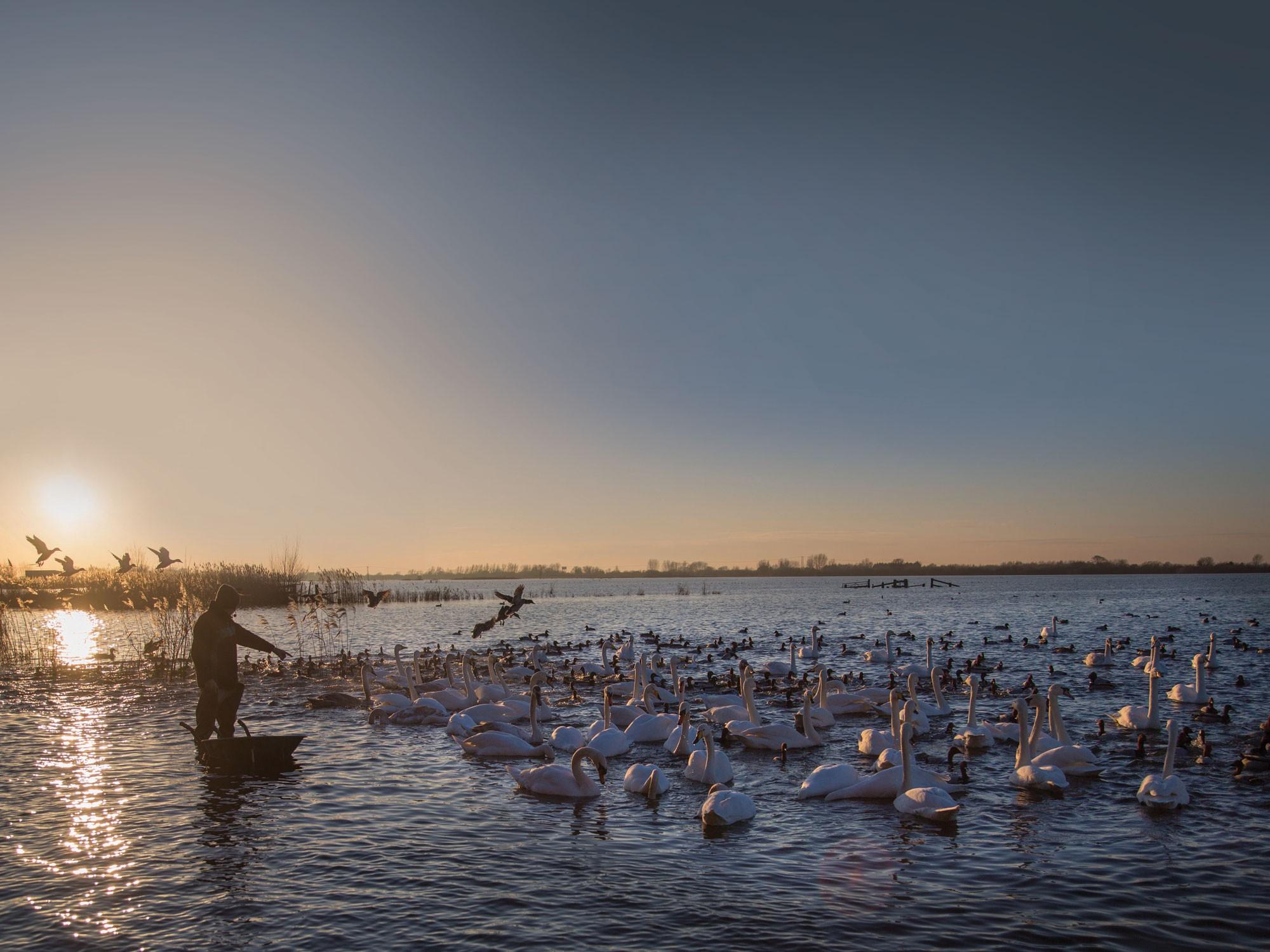 Welney Swan feeding